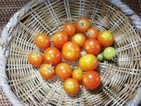 ミニトマト収穫🍅 - 好食好日