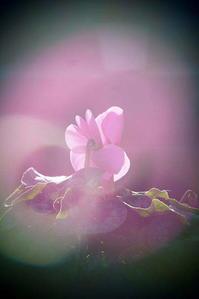 シクラメン - さぬき風花