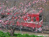 桜見頃ですよ 『三浦海岸 桜2021』 - 写愛館