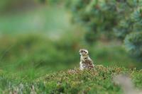 雷鳥の雛 - 夢月の気まぐれPhoto blog