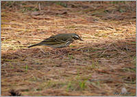 木の上のビンズイ - 野鳥の素顔 <野鳥と日々の出来事>