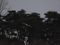 多々良沼(1) サギ ~鳥撮り修行中~ (2021/1/5撮影) - toshiさんのお気楽ブログ