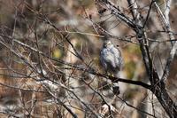 葦原にハイタカさん - 鳥と共に日々是好日②