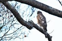 ハイタカさん② - 鳥と共に日々是好日②