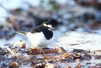 セグロセキレイ - 北の野鳥たち