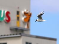 Saunders's gull - 鳥のように自由に