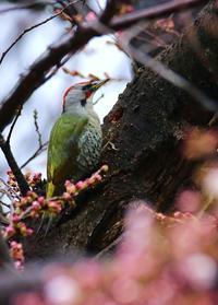 Japanese green woodpecker - 鳥のように自由に