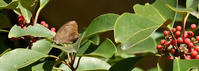 ムラサキツバメ再び緊急事態宣言 - 蝶のいる風景blog