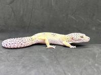 レオパ・マックスノー♂ Geckos Etc - アクアマイティー最新入荷情報BLOG