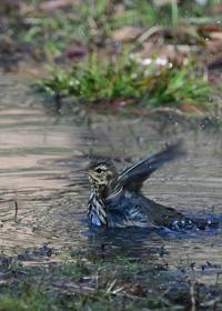 水浴び....ビンズイ - 新  鳥さんと遊ぼうⅡ
