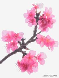 桜見頃ですよ 『三浦海岸 桜2021』② - 写愛館