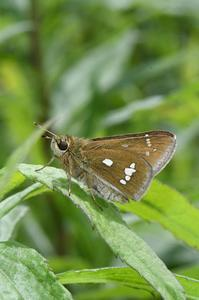 ミヤマチャバネセセリ・・・和歌山県では希少種 - 続・蝶と自然の物語