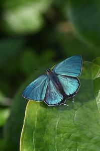 開翅・・・オオミドリシジミ - 続・蝶と自然の物語
