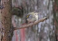 キクイタダキ - 野鳥の視線