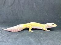 レオパ・マーフィーパターンレス ♀ Geckos Etc - アクアマイティー最新入荷情報BLOG