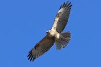 ノスリほぼ真上に - 気まぐれ野鳥写真