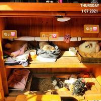 チャボと烏骨鶏 - 烏骨鶏かわいいブログ