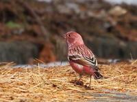 道端にいたオオマシコの群れ - コーヒー党の野鳥と自然パート3