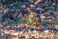 遠かったヤマシギ(山鷸) - 野鳥などの撮影記録