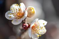 蝋梅を探しに行って梅を撮った・・・ - Darjeeling Days