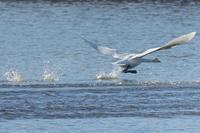 白鳥がホップステップアンドゥトロワ(群馬県立多々良沼公園) - 旅プラスの日記