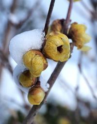 季節の花ロウバイ - 大山山麓、山、滝、鉄道風景