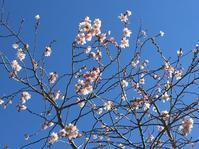 桜@今年も根性桜咲いています! - 小粋な道草ブログ