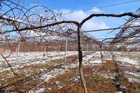 雪の葡萄園 - ~葡萄と田舎時間~ 西田葡萄園のブログ