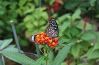 石垣島「蝶々園」花も蝶々も綺麗 - 白い羽☆彡の静岡県東部情報発信・・・PiPiPi♪