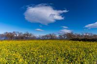 早春の菜の花(びわ湖なぎさ公園) - 花景色-K.W.C. PhotoBlog