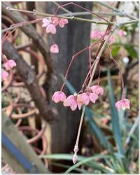 マユミの可愛らしい実の季節。 - 小さな庭 2