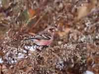 峠道でベニマシコと出会いました - コーヒー党の野鳥と自然パート3