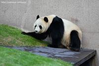 2020年12月白浜パンダ見隊1その8久しぶりの永明さん - ハープの徒然草