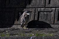 久しぶりのホシゴイさん - 鳥と共に日々是好日②