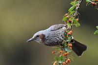 実を食べにくるヒヨドリさん - 鳥と共に日々是好日②