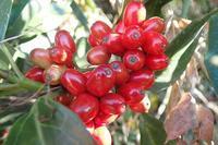 青木の赤い実 - 里山の四季