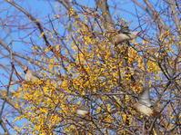 ホザキヤドリギにヒレンジャクⅡOYK - シエロの野鳥観察記録