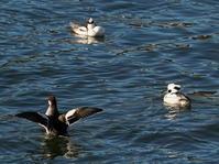 居る所は沢山いるんですね!ミコアイサOYK - シエロの野鳥観察記録