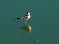 氷上のハクセキレイウォーキング!OYK - シエロの野鳥観察記録