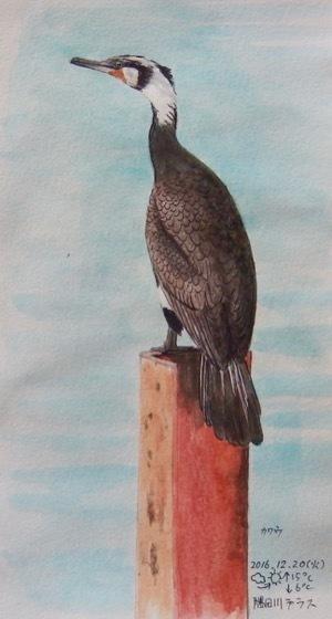#ネイチャー・スケッチ #Naturejournal 『川鵜』Phalacrocorax carbo -