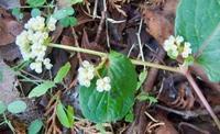 #タデ科 『蔓蕎麦』 Persicaria chinensis - 自然感察 *nature feeling*