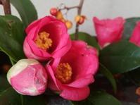 夢の花… - 侘助つれづれ