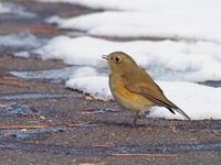 峠道にはルリビタキもいた - コーヒー党の野鳥と自然パート3