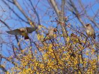 ホザキヤドリギにヒレンジャクⅢOYK - シエロの野鳥観察記録