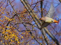 ホザキヤドリギにヒレンジャクⅣOYK - シエロの野鳥観察記録