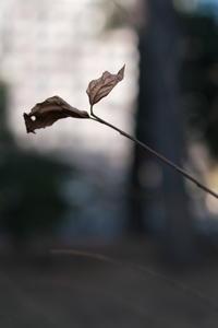 枯れ葉 / X-T3 + KIPON IBERIT 35mm f/2.4 - minamiazabu de 散歩