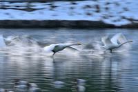 みちのく白鳥たち5 - みちのくの大自然