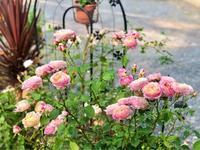 バラの用土替え♡クロードモネとマシン油散布(1度目) - 薪割りマコのバラの庭