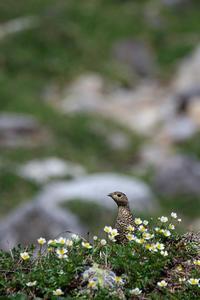雷鳥とチングルマ - 夢月の気まぐれPhoto blog