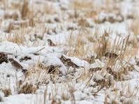 雪化粧の田圃の鳥さん - 下手の横好き